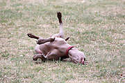 This is Sammy, a young female Weimaraner, having a good old roll on the dry grass