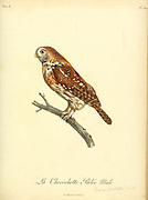 Chevêchette perlée, Glaucidium perlatum - Pearl-spotted Owlet This small owl inhabits open woodland and scrubland in sub-Saharan Africa. It reaches a length of less than 20 centimetres and so is often termed an owlet. from the Book Histoire naturelle des oiseaux d'Afrique [Natural History of birds of Africa] Volume 6, by Le Vaillant, Francois, 1753-1824; Publish in Paris by Chez J.J. Fuchs, libraire 1808