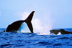 female humpback whale, throwing .its peduncle at chasing male, .Megaptera novaeangliae, .Hawaii (Pacific).