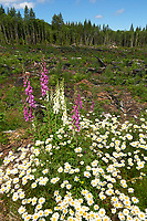 Foxglove (Digitalis purpurea) on Mount Washington, Vancouver Island, British Columbia   Photo: Peter Llewellyn