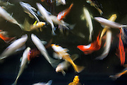 A long exposure captures the movement of a school of koi (Cyprinus carpio), a domesticated type of common carp, in a koi pond in Makena, Maui, Hawai`i.
