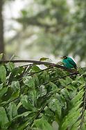 A green honey creeper sitting in a tree in Ecuador