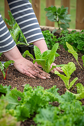 Planting out young Cos Lettuce plants - Lactuca sativa. Firming in
