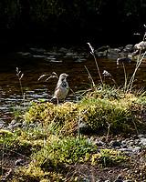 Meadow Pipit (Anthus pratensis). Þingvellir National Park. Image taken with a Nikon N1V1 camera and 10-100 mm VR lens