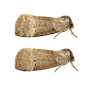Common Lutestring - Ochropacha duplaris<br /> 65.013 BF1657