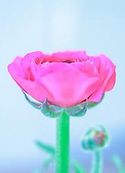 THEMENBILD - die Blüte einer roten Ranunkel (Ranunculus asiaticus) aus der Gattung Hahnenfuß, aufgenommen am 22. Februar 2018, Ort, Österreich // the blossom of a red ranunculus (Ranunculus asiaticus) on 2018/02/22, Ort, Austria. EXPA Pictures © 2018, PhotoCredit: EXPA/ Stefanie Oberhauser