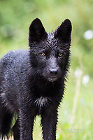 Wild wolf pup in the Canadian Rockies