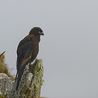 """A Striated Caracara, affectionately known to sailors as a """"Johnny Rook,"""" perches on a rock on Carcass Island, in Britain's Falkland Islands."""