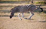 Adult zebra running in open grassland