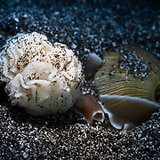 This rose petal bubble shell (Hydatina physis) is burrowing back into the substrate after having emerged to produce the eggs pictured here. This marine snail gathers and arranges its eggs on its mantle before attaching the completed mass to the sand with a mucous thread.