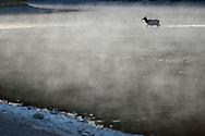 American elk, Cervus canadensis, Grand Teton National Park, Wyoming, USA