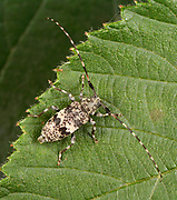 Close-up of a Black-clouded longhorn beetle (Leiopsis nebulosus) resting on a bramble leaf in a Norfolk woodland habitat in summer