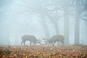 © Licensed to London News Pictures. 13/03/2014. Richmond, UK. Two stags tussle in the foggy wood. Deer graze and feed in the heavy fog at Richmond Park, Surrey, today 13th March 2014. Photo credit : Stephen Simpson/LNP
