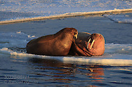 Walrus couple rest on ice floe in Austfjorden at Spitsbergen island in the Svalbard archipelago of Norway.