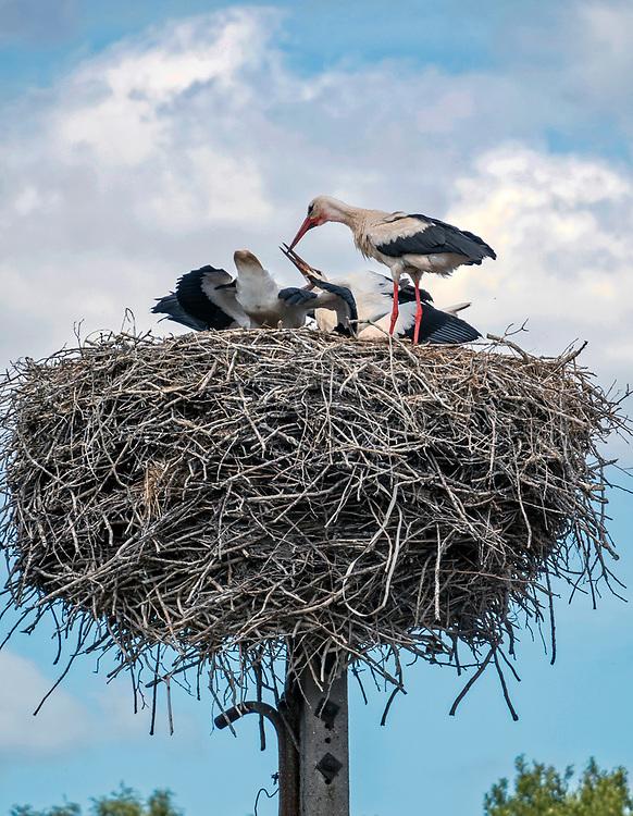 Bocianie gniazdo w Tykocinie, Polska<br /> Stork nest in Tykocin, Poland