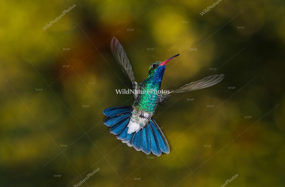 A male Broad-billed Hummingbird (Cynanthus latirostris) in flight,, displaying his blue gorgeyt and tail. (Arizona)