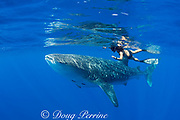 Mami LeMaster and whale shark, Rhincodon typus, Kona Coast, Hawaii Island ( the Big Island ), Hawaiian Islands ( Central Pacific Ocean ) (cropped)