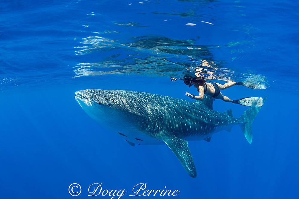 Mami LeMaster and whale shark, Rhincodon typus, Kona Coast, Hawaii Island ( the Big Island ), Hawaiian Islands ( Central Pacific Ocean ) (cropped)