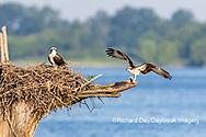 00783-02012 Osprey (Pandion haliaetus) landing at nest with fish Rend Lake Jefferson Co. IL