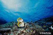 lined butterflyfish, Chaetodon lineolatus, Great Barrier Reef, Australia ( Western Pacific Ocean )