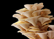 Fresh picked edible yellow or golden pyster mushrooms (Pleurotus citrinopileatus) in a grow box against a black background