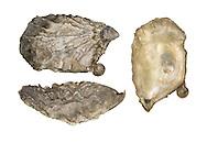 Portuguese Oyster - Crassostrea gigas