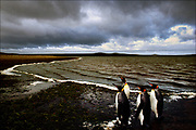A quartet of King penguins reside on the beaches and coastal grasslands of the Falkland Islands, a British overseas territory in the South Atlantic. In 1982, Great Britain and Argentina fought a bloody ten-week war for control of the 778-island Falkland archipelago, which today is a sanctuary for as many as a million penguins.  © Steve Raymer / National Geographic Creative