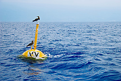 Brown Boobies or `A in Hawaiian, Sula leucogaster plotus, resting on VV FAD buoy (Fish Aggregation Device) which is slanted by strong ocean current, off Kona Coast, Big Island, Hawaii, USA, Pacific Ocean