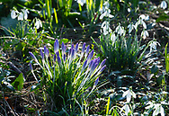 Budding crocus surrounded by Snowdrop (Galanthus Nivalis) on a winter morning in the garden at Chiswick House, Chiswick, London, UK