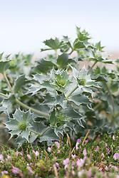 Sea Holly growing on the beach by the sea at Sandwich Bay, Kent. Eryngium maritimum