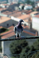 Banded Variant Of Rock Dove & Feral Pigeon