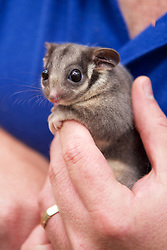 Kevin Schroder Holding Leadbeater's Possum
