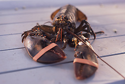 Live Lobster with Rubber Bands on Claws, Castine, Maine, US