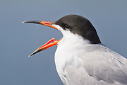 Forster's Tern calls with it's tongue showing- closeup.(Sterna forsteri).Bolsa Chica Wetlands, California