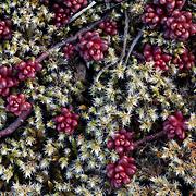 Stone crops (Sedum L.) and moss, Mont du Cézallier, Auvergne, France