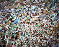 Tufted Titmouse on a dead vine. Image taken with a Nikon D700 camera and 28-300 mm lens (ISO 1400, 300 mm, f/5.6, 1/60 sec).