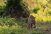 A jaguar, Panthera onca, mating. patrolling the forest.