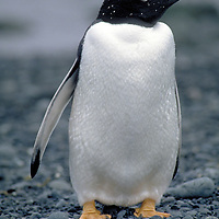 Penguin of the Day - Gentoo