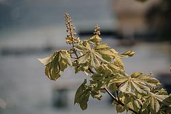 THEMENBILD - die Blüte eines Kastanienbaumes in der Frühlingssonne, aufgenommen am 24. April 2019 in Gmunden, Oesterreich // the blossom of a chestnut tree in the spring sun, Austria. EXPA Pictures © 2019, PhotoCredit: EXPA/ Stefanie Oberhauser