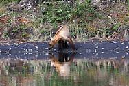 A subadult brown bear looks for salmon along the edge of Lake Brooks, Katmai National Park