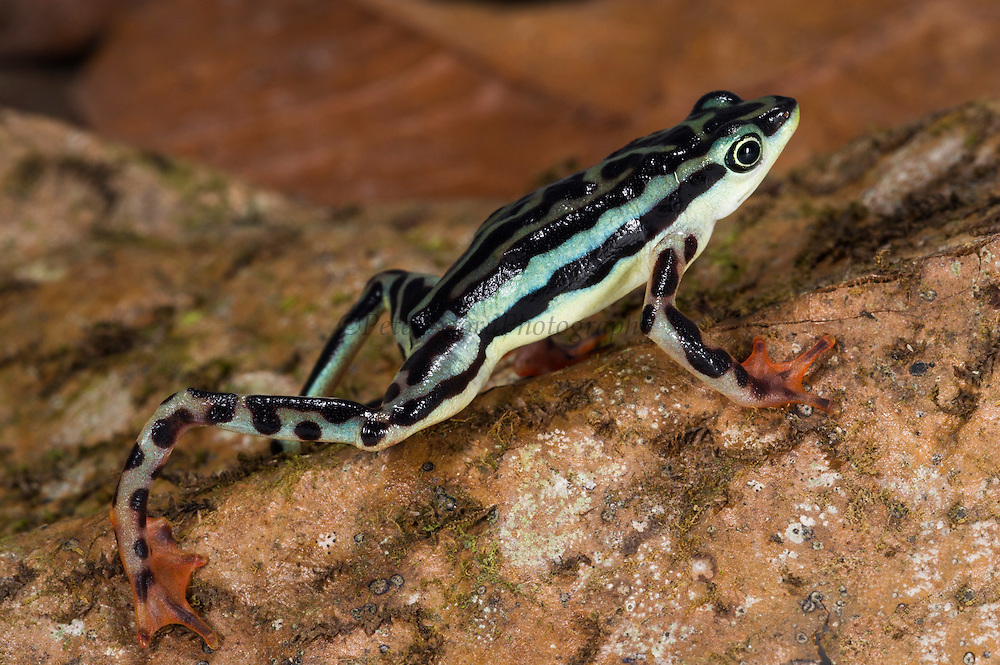 Elegant Harlequin frog (Atelopus elegans)<br /> CAPTIVE<br /> Chocó Region of northwest Ecuador<br /> ECUADOR. South America<br /> Threatened species due to habitat loss and chytridiomycosis fungus.<br /> RANGE: Colombia, NW Ecuador,<br /> Lowland and submontane humid rainforest. 300-1,140m.<br /> Critically Endangered