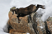Chamois (Rupicapra rupicapra) jumping down from a cliff.<br /> Gran Paradiso National Park, Italy