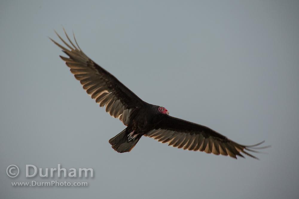 A turkey vulture (Cathartes aura ) in flight above Biscayne Natonal Park, Florida.