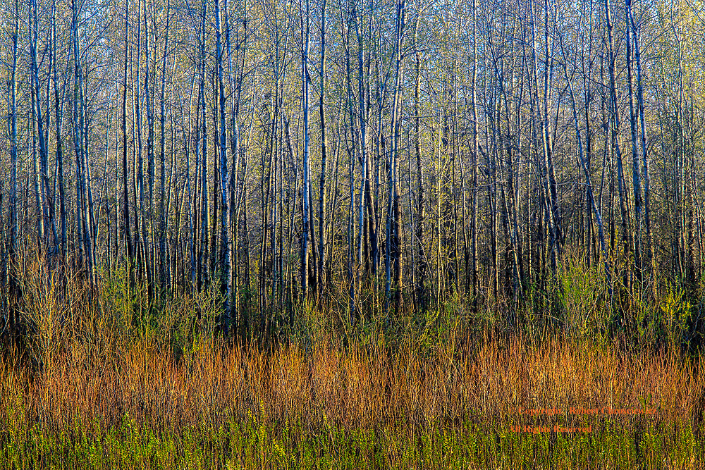 """Natural Colour Banding: The riverside view of a forest or """"the bush"""", as it's called in Canada, exposes the natural and colourful banding of the trees and shrubbery in Agassiz British Columbia Canada.."""
