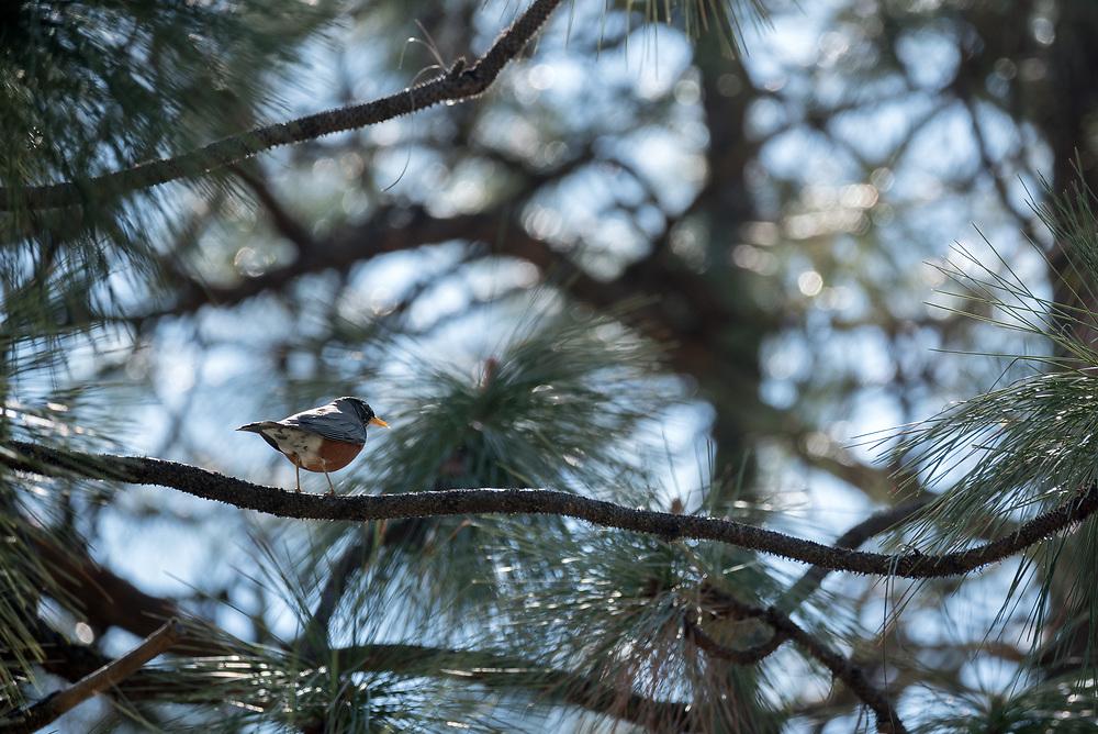 Robin on the branch of Ponderosa pine tree, Wenaha River Canyon, Oregon.