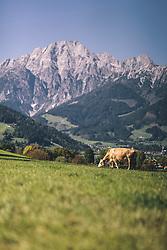THEMENBILD - Milchkuh auf einer Weide vor der Bergkulisse, aufgenommen am 29. September 2019 in Saalfelden, Oesterreich // Dairy cow on a pasture in front of the mountain scenery dairy cows in a pasture in Saalfelden, Austria on 2019/09/29. EXPA Pictures © 2019, PhotoCredit: EXPA/ JFK