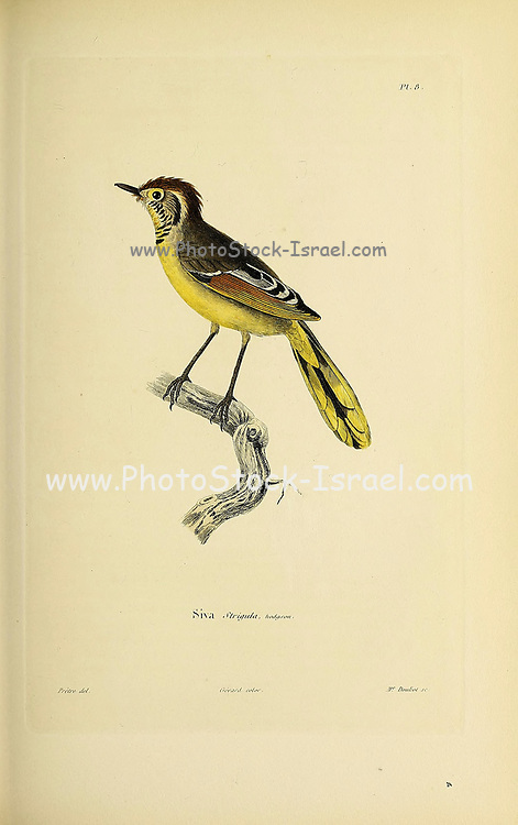 bar-throated minla or chestnut-tailed minla (Actinodura strigula), or even bar-throated siva [here as Siva strigula], from Souvenirs d'un voyage dans l'Inde exécuté de 1834 à 1839 (A voyage to India) by Delessert, Adolphe, published in Paris in 1843