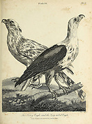 Noisy Eagle, Long-Tailed Eagle Copperplate engraving From the Encyclopaedia Londinensis or, Universal dictionary of arts, sciences, and literature; Volume VII;  Edited by Wilkes, John. Published in London in 1810