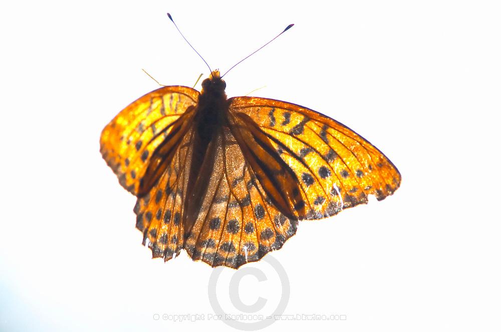 Small Fritillary butterfly resting on a window sill. Smaland region. Sweden, Europe.