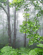 """Fog and Ferns<br /> <br /> 11"""" x 14""""<br /> See Pricing page for details. <br /> <br /> Please contact me for custom sizes and print options including canvas wraps, metal prints, assorted paper options, etc. <br /> <br /> I enjoy working with buyers to help them with all their home and commercial wall art needs."""